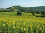 Sunflowers luxuriate under the summer sun