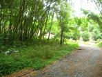 Guadua trees