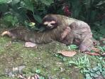 Mommy and baby sloth passing thru on front drive