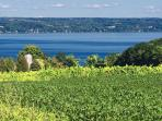 Summer in the vineyard, overlooking Cayuga Lake.