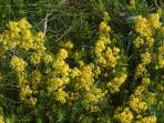 Wild flowers in garden and close by: Ladies Bedstraw