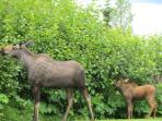 Mamma and baby moose in the yard -- frequent visitors