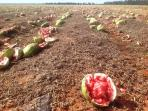 Smashed watermelons that didn't make the standards. Fun guaranteed!