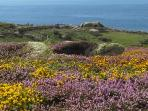 Cornish Clifftops covered in wild flowers including wild orchids,  heather and gorse near Lands End