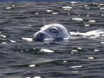 Friendly natives.  Seals, dolphins and those friendly giants, Basking Sharks are spotted locally