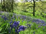 Bluebells in the wood Hele Barton