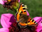 Butterfly on a dahlia in the cutting garden.