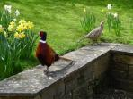 Friendly Pheasants!