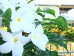 Frangipanier nain dans le jardin privatif de la villa