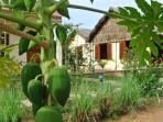 The papaya tree in the garden.