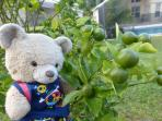 We have several citrus trees in our garden-maybe they'll be ripe while you are here?
