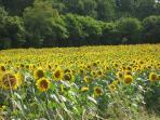 Fields of Golden Sunflowers