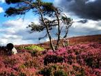 The windswept Eildon hills with the heather in full bloom.