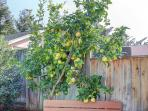 Fruit trees at West Coast Villa produce lemons, oranges, apples, cherries