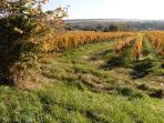 Autumn grapevines near Bourgeil