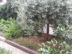 View of our olive tree from the balcony.
