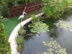 carpe koi and water lilies