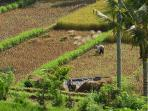 Farmers tending the rice on the rice paddy trek