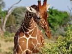 Maasai giraffe grazing at the camp compound