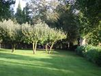 the apple trees