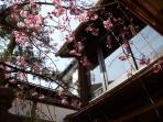 The cherry blossoms in the Spring Garden. Come see our very own cherry blossoms in our garden!