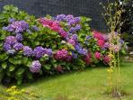 saison des hortensias bretons