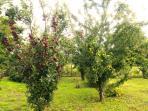 Our established fruit trees.
