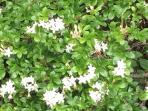 Pond bush in bloom