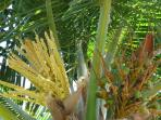 Coconut tree in bloom