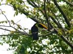 The toucans can be seen pretty much everyday on the property!