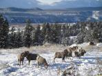 Mountain Sheep in Radium