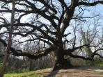 Pinocchio's oak
