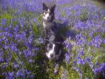 Dogs in the bluebells nearby.  Dogs are welcome and stay free!