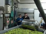 Some of our fall guests participating in the olive harvest and production in Buccheri