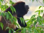 Howler Monkey - picture taken from the house