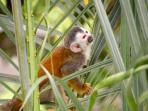 Squirrel Monkey - picture taken from the house