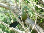Knysna Turaco - these are common around the chalet