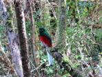 Narina Trogon - a shy forest bird, but you may see one