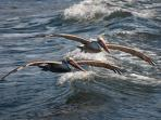 Pelicans surf the waves
