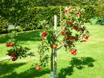 Babingtons Cottage.  Apple Tree in the Orchard.