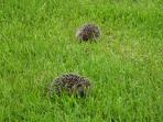 Babingtons Cottage.  Hedgehogs in the Garden.