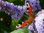 Red Admiral Butterfly on a lilac plant in the garden