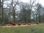 Highland Cattle in the Hirsel Country Park at Coldstream.