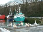 Swans at Eyemouth, Berwickshire.