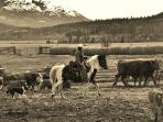 Fall  cattle sorting.  'Taking the cows home to the Circle X Ranch' located on Homathko River Inn.