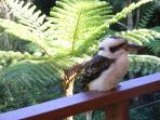 Local Kookaburras