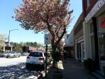 Spring Blooms in quaint downtown Brevard is beautiful!