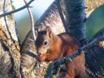 Red squirrel - a frequent visitor to the garden