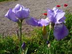 iris bleu, jaune et coquelicots