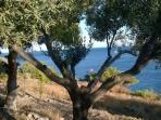 Olive trees at Kavos Bay